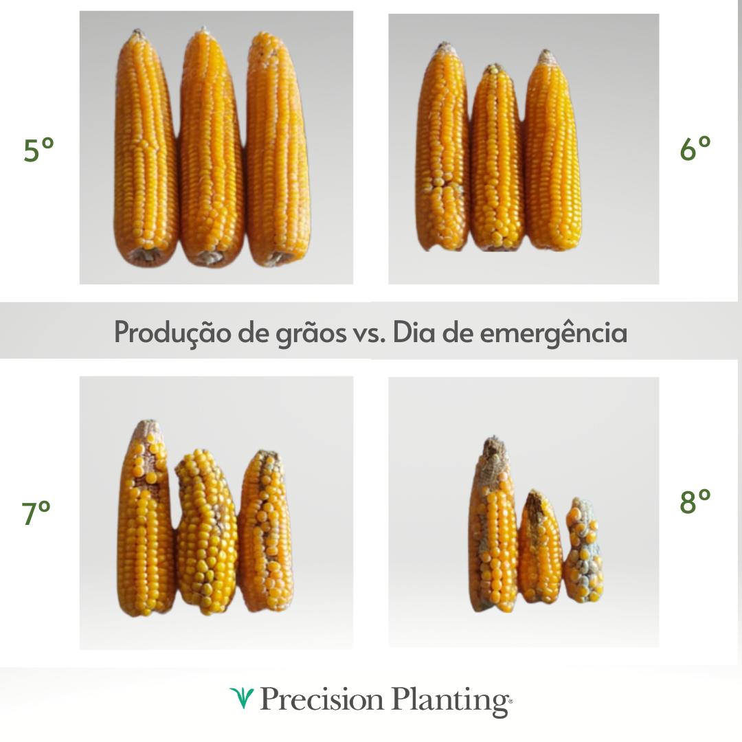 Na imagem acima é possível observar espigas produzidas por plantas que emergiram no 5º, 6°, 7° e 8° dias após o plantio.  As espigas produziram menor quantidade de grãos quanto maior foi o atraso de emergência das plantas do solo.