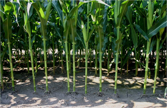 A imagem mostra um plantio de milho com má distribuição de sementes